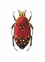 http://abbeyryan.com/files/gimgs/th-43_43_03colorpencilbeetle.jpg